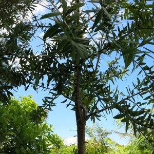 Young Kauri tree