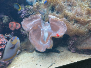 Giant clam, about 5 feet long