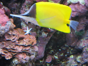 Longnose butterfly fish, and starfish which is less than one inch in size