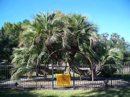 Butia Capitata with four arms