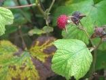 Thimbleberry?