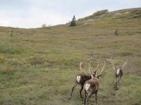 The caribou on the left is shedding its velvet.
