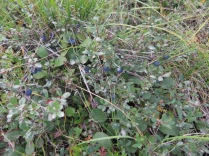 Low lying blueberry bushes