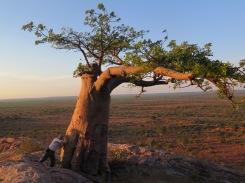Huge old baobab tree