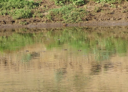 Look closely for the crocodiles