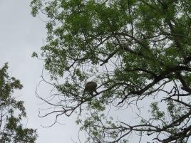 Vervet monkey giving the alert