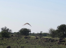 Bustard in flight
