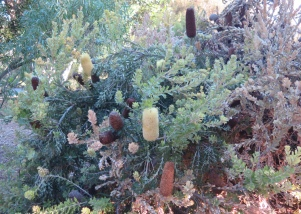 Solander's Banksia, Western Australia