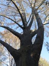Endangered Torrey Pine, Southern California