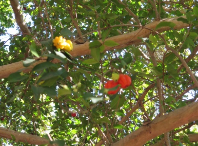 Surinam Cherry, South America