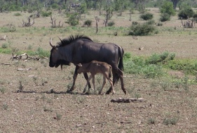 Mother and child - wildebeests